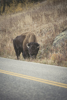 USA, Yellowstone National Park, Bison standing at roadside - EPF00383