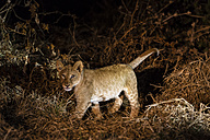 Botswana, Tuli Block, lion cub at night - SRF00857