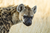 Botswana, Tuli Block, portrait of spotted hyena - SRF00860