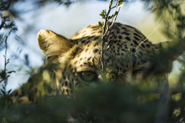 Botswana, Tuli Block, leopard hiding behind twigs, close-up - SRF00863