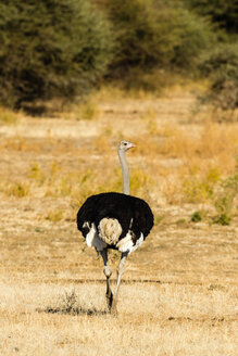 Botswana, Tuli Block, back view of African ostrich - SRF00869