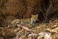 Botswana, Tuli Block, leopard watching something - SRF00875