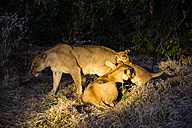 Botswana, Tuli Block, three lions at night - SRF00878