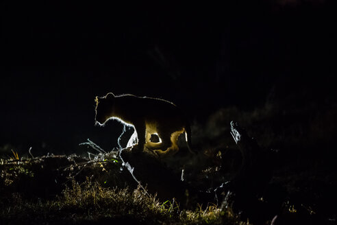 Botswana, Tuli Block, silhouette of lion cub at night - SRF00881