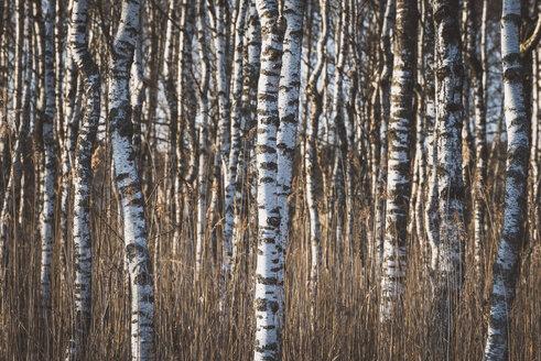 Germany, birch forest - KEBF00538
