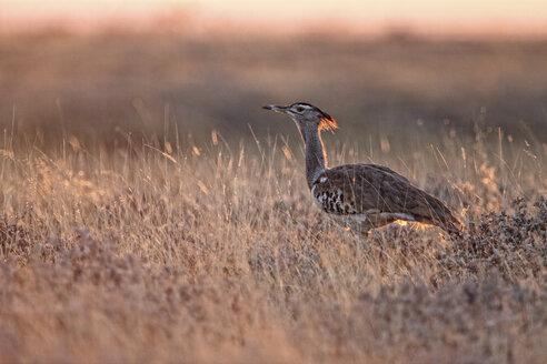 Namibia, Etosha National Park, Kori bustard - DSGF01583