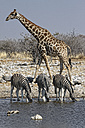 Namibia, Etosha National Park, giraffe and zebras drinking at a water hole - DSGF01586