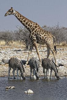 Namibia, Etosha National Park, giraffe and zebras drinking at a water hole - DSGF01586
