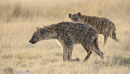 Namibia, Etosha National Park, two spotted hyenas - DSGF01592