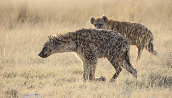 Namibia, Etosha National Park, two spotted hyenas - DSGF01592