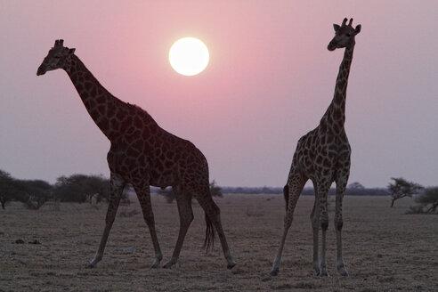 Namibia, Etosha National Park, two giraffes at sunset - DSGF01595