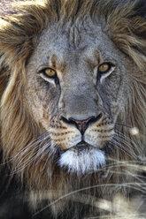 Portrait of a lion - DSGF01598
