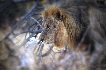 Namibia, Etosha National Park, lion - DSGF01613