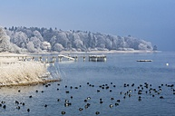 Germany, Bavaria, birds on Chiemsee in winter - THAF01898