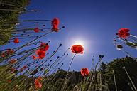 Corn poppies in sunlight - SMAF00722