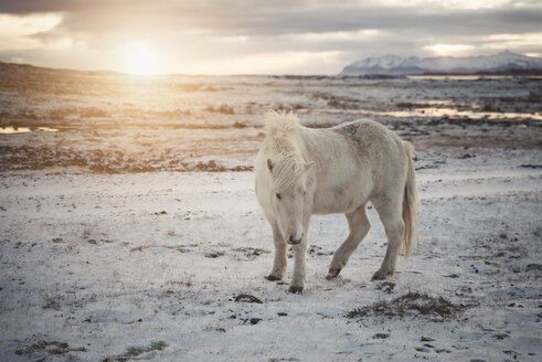 Iceland, Icelandic horse at sunset - EPF00401
