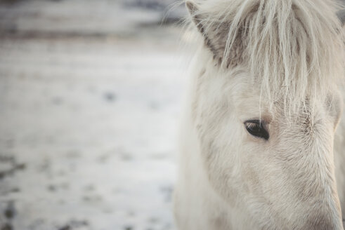 Iceland, Icelandic horse, close-up - EPF00404