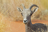 USA, Nevada, Valley of Fire State Park, portrait of a female bighorn sheep - FOF09089