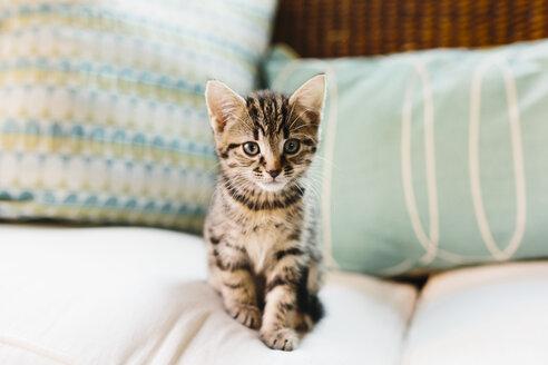 Eight week old tortoiseshell kitten on sofa - NMSF00019