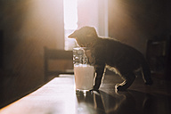 Eight week old tortoiseshell kitten trying to drink milk from a glass in the morning sunlight - NMSF00022