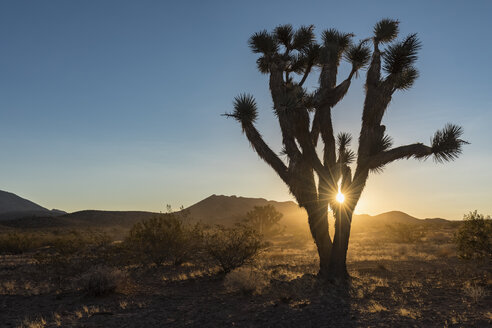 USA, Nevada, Joshua Tree at sunrise - FOF09124