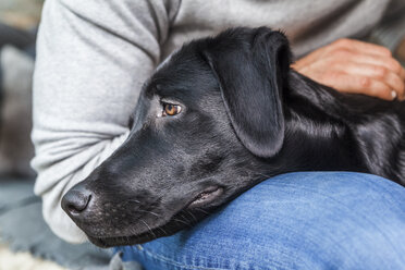 Head of black dog on his owner's lap - TCF05331