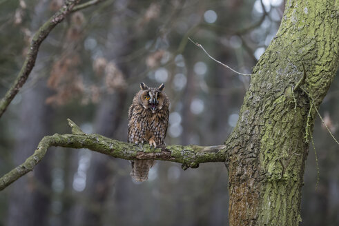 Long-eared owl, Asio otus, in forest - PAF01771