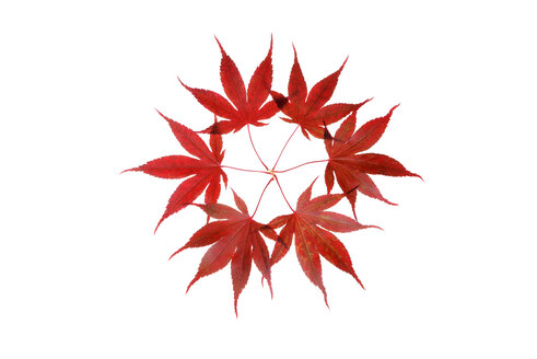 Red autumn leaves of Japanese Maple against white background - RUEF01764