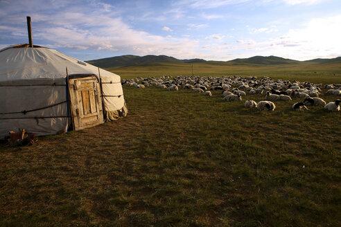 Mongolia, Arkhangai province, nomad camp, sheep herd - DSG01648