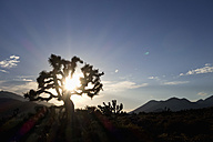 USA, California, Joshua tree in back light - NDF00638