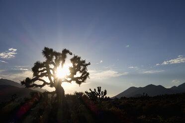 USA, California, Joshua tree in back light - NDF00638