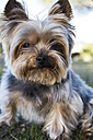 Portrait of Yorkshire Terrier sitting on meadow - ABZF01946