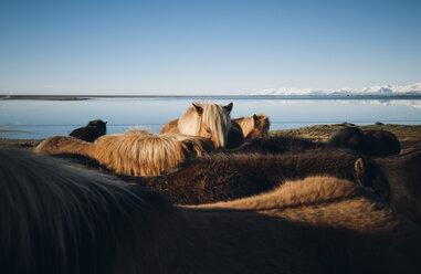 Iceland, Icelandic horses at the coast - RAEF01805