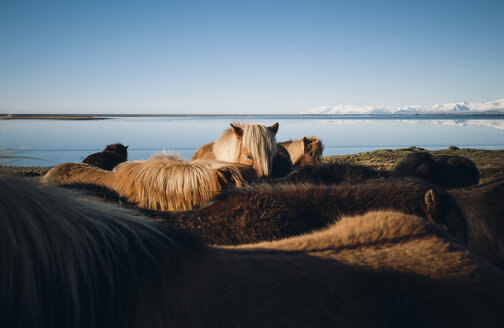 Iceland, Icelandic horses at the coast - RAEF01805