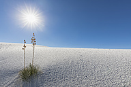 USA, New Mexico, Chihuahua Desert, White Sands National Monument, soap trees on desert dune - FOF09212
