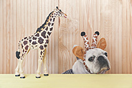French bulldog wearing giraffe headband with giraffe figurine - RTBF00807