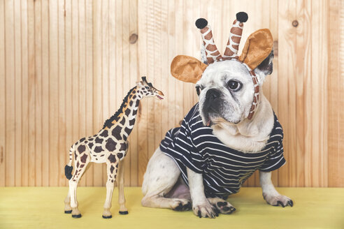 French bulldog wearing giraffe headband and pullover with giraffe figurine - RTBF00810