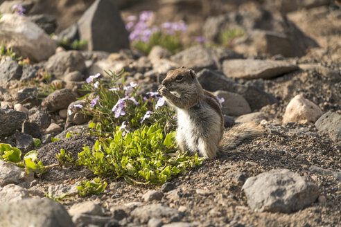 Spain, Canary Islands, Fuerteventura, Jandia Natural Park, Risco del Paso, Barbary ground squirrel - PCF00346