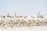 Namibia, Etosha National Park, wild animals near a waterhole - GEMF01585