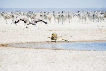 Namibia, Etosha National Park, lion resting at waterhole with herd of Zebras and Oryx in the background - GEMF01588