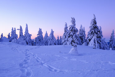 Germany, Bavaria, Bavarian Forest in winter, Great Arber, snow-capped spruces in the morning - SIEF07412