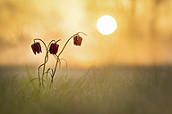 Snake's Head Fritillary on a meadow at sunrise - BSTF00105