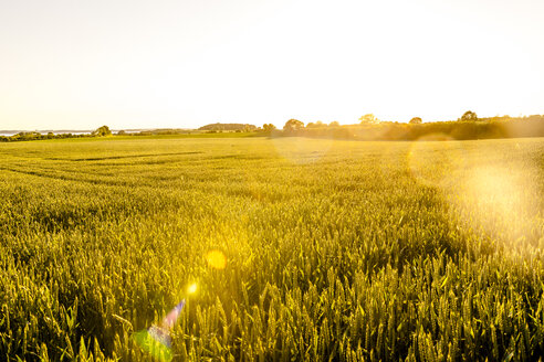 Wheat field in sunlight - EGBF00228