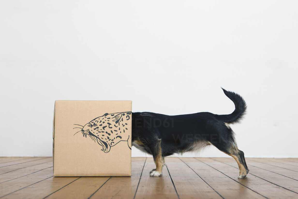 Roaring dog inside a cardboard box painted with a leopard - PSTF00026 - Petra Stockhausen/Westend61