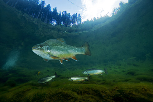 Austria, Styria, char and rainbow trouts in Lake Grueblsee - GNF01382