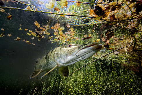 Germany, Bavaria, northern pike in Echinger Weiher - GNF01385