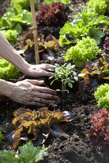 Man's hand planting tomato plant in a bed - NDF00645