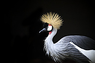 Grey crowned crane in front of black background - MMAF00101