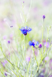 Flying bee and cornflower - CZF00285