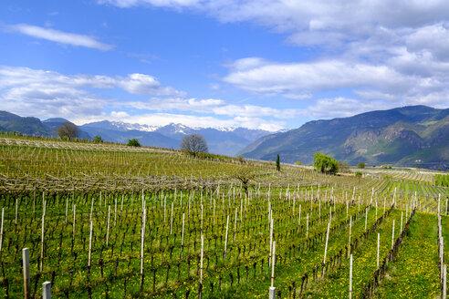 Italy, South Tyrol, Ueberetsch, Girlan, vineyards - LBF01607